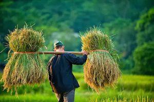VEPR: Hiệp hội Lương thực Việt Nam vô trách nhiệm với lợi ích người nông dân