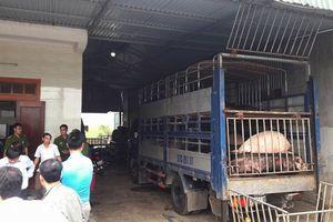 Hà Tĩnh: Phát hiện 2 xe tải chở hàng chục con lợn vi phạm kiểm dịch