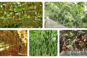 Ngắm cây sai trĩu quả giúp nông dân 'hái ra tiền'