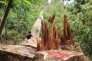 Cận cảnh rừng lim quý hiếm ở Quảng Nam bị tàn sát