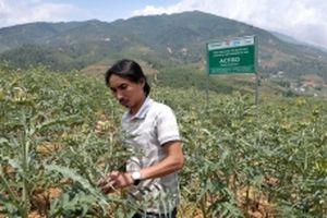 Phát triển cây a-ti-sô giúp người dân thoát nghèo