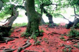 Chùm ảnh: Vườn lộc vừng cổ 90 cây nghìn năm tuổi triệu người mê