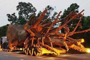 Lộ diện 3 xe ô tô khủng chở cây 'quái thú'