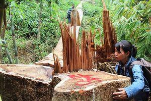 Tận thấy rừng lim cổ thụ ở Quảng Nam bị 'tàn sát' không thương tiếc