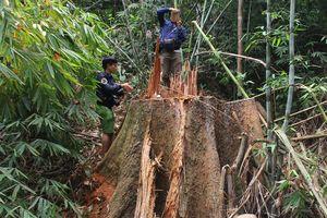 Khởi tố nhiều người phá rừng tại Quảng Nam