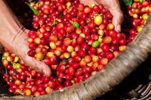 Giá nông sản hôm nay 2/4: Giao dịch ảm đạm phiên đầu tháng, giá tiêu, giá cà phê không nhiều biến động