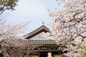 Tháng 4, đắm mình trong vẻ huyễn hoặc mùa hoa anh đào ở Hàn Quốc