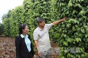 Nông dân Đồng Nai chặt bỏ cây 'vàng đen'