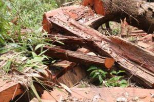 Rừng lim già ở Quảng Nam bị tàn sát: Có sự cấu kết với lâm tặc?