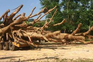 Xác định nguồn gốc 1 trong 3 cây cổ thụ khổng lồ bị bắt giữ