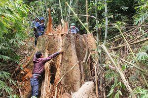Lâm tặc hoành hành, quản lý rừng ở đâu?