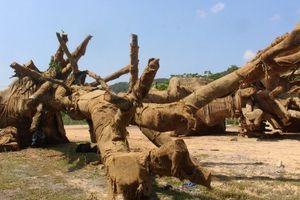 Người tự xưng chủ của 3 cây gỗ khổng lồ đến làm việc với kiểm lâm