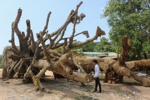 Có người trình 2 bộ hồ sơ gốc liên quan đến số cây khổng lồ