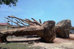 Chủ 3 cây gỗ 'khủng' bị CSGT bắt giữ đã xuất trình hồ sơ nguồn gốc