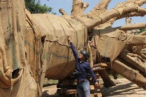 Hồ sơ về nguồn gốc cây cổ thụ 'khủng' nghi bị làm giả
