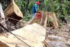 Quảng Nam: Để mất gỗ rừng, 6 cán bộ kiểm lâm bị đình chỉ công tác