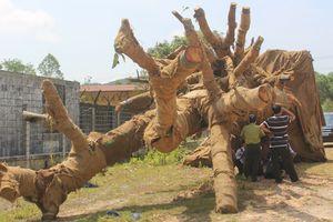 Hồ sơ 3 cây khủng như 'quái thú' ở Huế ra sao?
