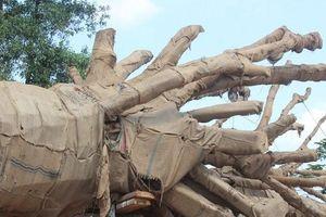 Phát hiện một hồ sơ nguồn gốc của 3 cây 'siêu khủng' bị làm giả