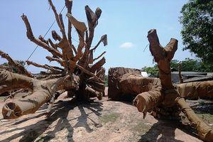 Công an vào cuộc vụ 3 cây gỗ 'khủng' bị CSGT bắt giữ ở Huế
