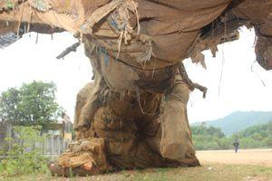 Vụ 3 cây khủng như 'quái thú' ở Huế: Công an vào cuộc