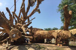 Vụ cây 'quái thú': Làm rõ phó chủ tịch xã ký bừa