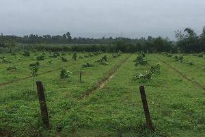 Truy tìm kẻ gian chặt phá hơn 160 cây bưởi Phúc Trạch của người dân