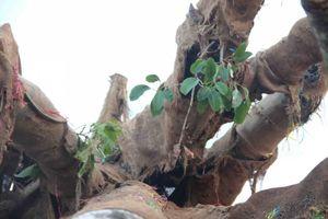 Công an vào cuộc điều tra vụ vận chuyển 3 cây gỗ 'khủng'