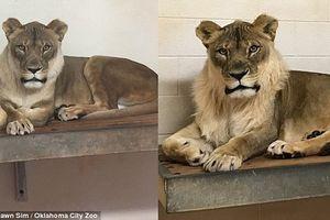 Giải bí ẩn chuyện sư tử cái 18 năm bỗng mọc bờm như con đực