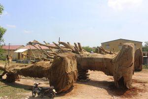 Vụ 3 cây 'khủng': Giá mua cây chưa đến 50 triệu đồng