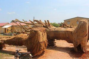Bất thường hồ sơ nguồn gốc cây 'quái thú' bị vứt ở TT-Huế