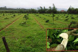 Gần 200 cây bưởi đặc sản của nông dân Hà Tĩnh bị kẻ xấu chặt ngang gốc