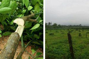 Gần 200 cây bưởi Phúc Trạch bị chặt ngang gốc trong đêm