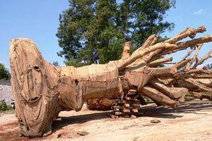 Vụ vận chuyển cây 'quái thú': Chủ cây nhớ đường vào nơi khai thác