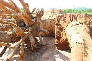 Xác định rõ nguồn gốc 2 trong 3 cây cổ thụ 'khủng' tạm giữ tại Thừa Thiên - Huế