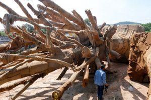 Vụ cây 'khủng': Đã xác định được 2/3 cây đúng nguồn gốc