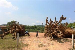 TT-Huế: Trả lại 2 cây cổ thụ 'khủng' cho chủ cây