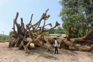 Vụ cây 'quái thú': Đưa chủ cây về Đắk Lắk xác định nguồn gốc cây thứ 3