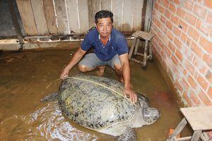 Bắt được rùa nặng 200kg, gia đình mong muốn được hỗ trợ để thả về biển