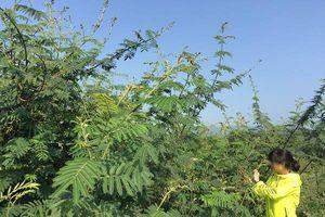 Điện Biên: Cảnh báo nguy cơ xâm hại môi trường từ cây Mai Dương