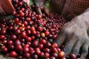 Giá nông sản hôm nay 11/4: Giá cà phê đột ngột giảm mạnh, giá tiêu phổ biến 57.000 đồng/kg