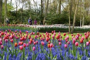 Mùa hoa tulip đẹp mê đắm trong công viên lớn nhất thế giới ở Hà Lan