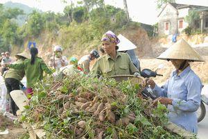 Nông dân ven sông Lam thu nhập cao từ trồng khoai 'hờ'