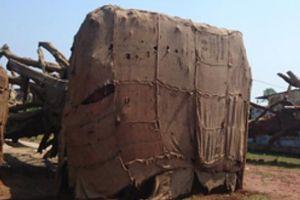 Cây 'quái thú' được 'trả tự do', chủ cây bị phạt 750.000 đồng