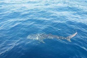 Cá 'thiêng' cực kỳ quý hiếm xuất hiện trên biển Phú Quốc