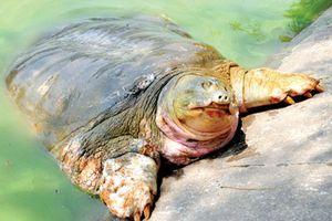 Phát hiện thêm một cá thể rùa Hoàn Kiếm tại Hà Nội