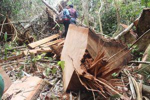 Phó chủ tịch tỉnh Quảng Nam: Có sự dung túng, bao che để phá rừng