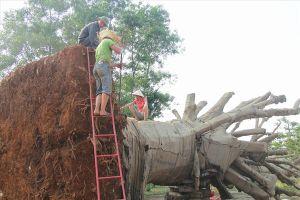 Vụ ba cây cổ thụ 'khủng': Chủ cây 'gọt' cây để di chuyển
