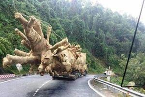Chưa phát hiện tiêu cực trong vụ cây khủng như 'quái thú'