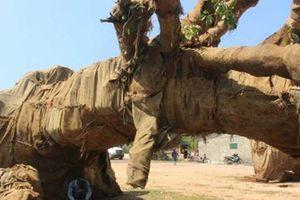 Thu tiền phạt, thả cây cổ thụ 'khủng' thứ 3