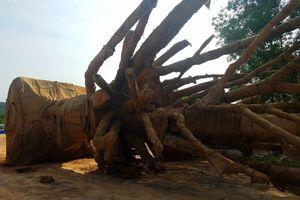 Vụ '3 cây cổ thụ khổng lồ': Đã trả lại toàn bộ cây 'khủng' cho chủ nhân